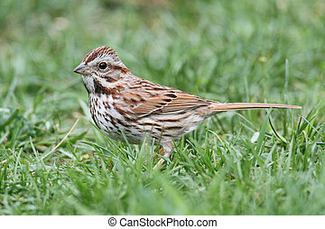 Song Sparrow (Melospiza melodia) in grass on a lawn