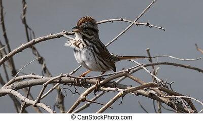 Song Sparrow, Melospiza melodia, in song - A Song Sparrow,...