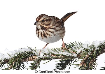Song Sparrow (Melospiza melodia) isolated on a white background