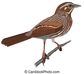 Song Sparrow - Melospiza melodia maxima  - Alaska