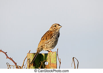 Song Sparrow on Fence Post