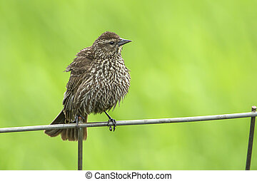 Song sparrow on fence.