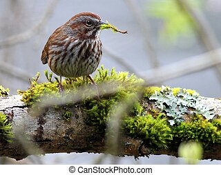 Song Sparrow on Mossy Branch