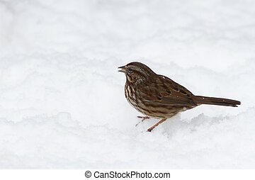 Song Sparrow on snow ground