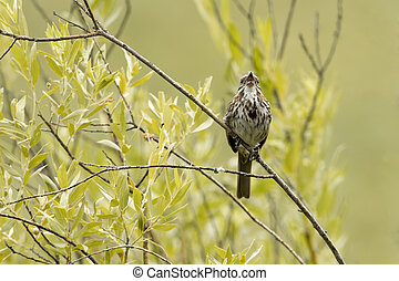 Song sparrow on twig cherping.