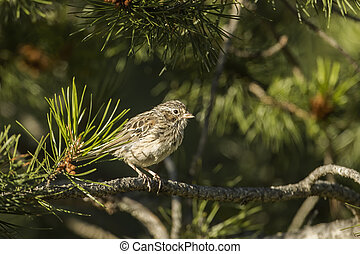 Song sparrow perched on a branch.