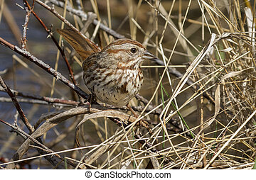 Song sparrow perched on a twin.