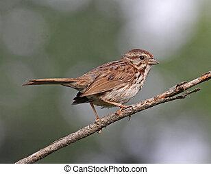 A Song Sparrow (Melospiza melodia) perched on a branch. Shot in Cambridge, Ontario, Canada.