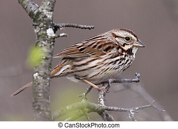 A profile shot of a Song Sparrow (Melospiza melodia) sitting a tree branch in the spring. Shot in Southern Ontario, Canada.