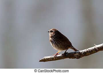 Song Sparrow standing on a branch