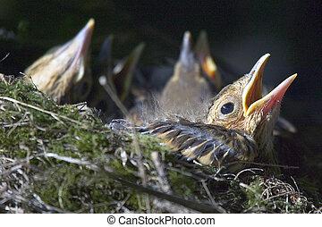 Song thrush chick