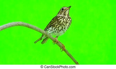 Song Thrush (Turdus philomelos) isolated on a green...