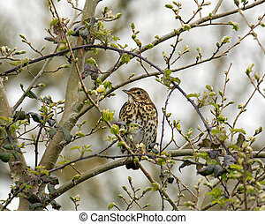 Song Thrush in tree