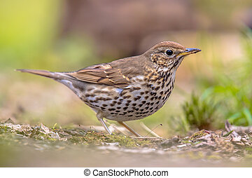 Song Thrush looking for food in a backyard