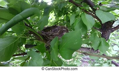 song thrush nest in a tree in the garden