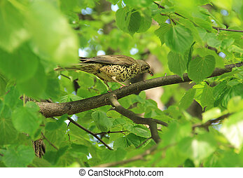 song thrush on the tree
