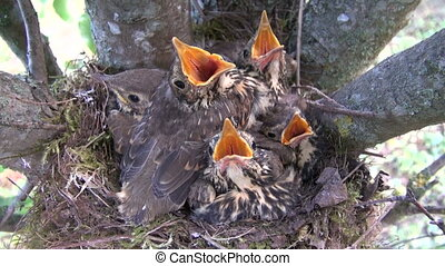 song thrush (Turdus philomelos) birds nest with chicks in...