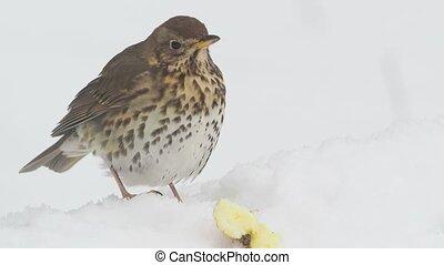 Song thrush, Turdus philomelos, single bird in snow, ...