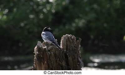 Song wagtails - white wagtail sings on the old stump