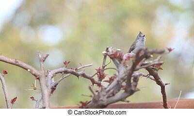 songbird calls for its mate - lively tufted titmouse hops...