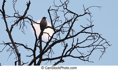 songbird on the background of the moon sings a song