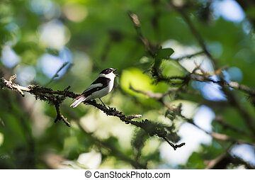 Songbird singing in a bright deciduous forest