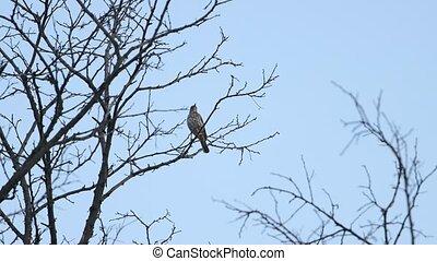 songbird sings the spring song beautifully , bird watching, wildlife
