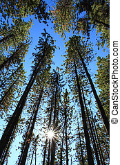 sonne, kiefer bäume