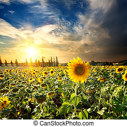 sonne, sonnenblumen