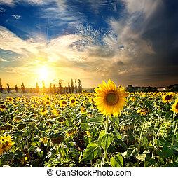 sonne, und, sonnenblumen