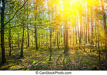 sonnenaufgang, in, sommer, wald, natur, begriff