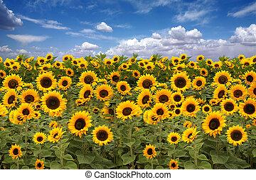 sonnenblume, ackerland, mit, blaues, trüber himmel
