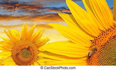 sonnenblume, an, sonnenuntergang