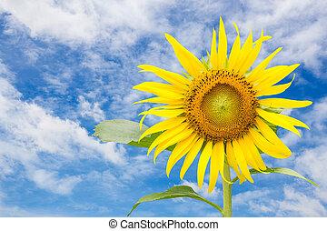 sonnenblume, mit, blauer himmel, hintergrund
