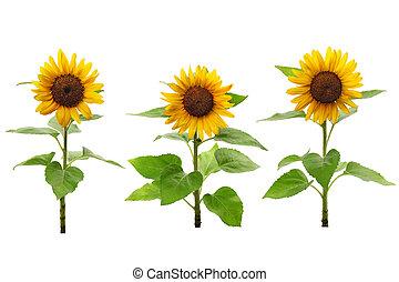 sonnenblumen, drei