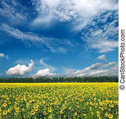 sonnenblumen, feld, unter, himmelsgewölbe