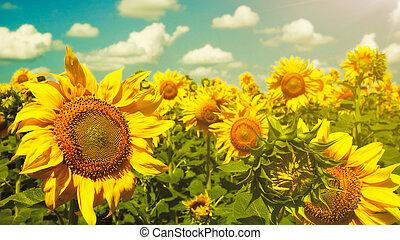 sonnenblumen, unter, der, blaues, sky., schöne , ländliche...