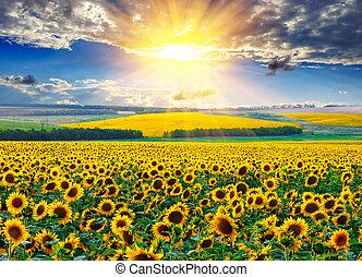 sonnenblumenfeld, an, der, morgen