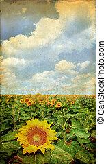 sonnenblumenfeld, auf, a, grunge, hintergrund