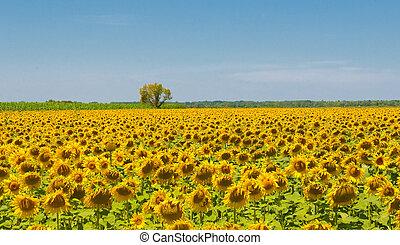 sonnenblumenfeld, provence, frankreich, seichter fokus