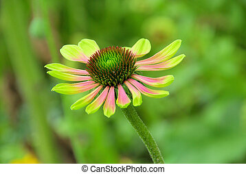 Sonnenhut Green Envy - black-eyed Susan Green Envy 01