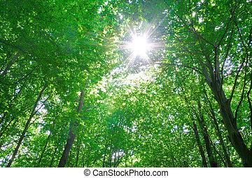 sonnenlicht, in, bäume, von, wald