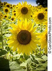 sonnenschein, sonnenblumen