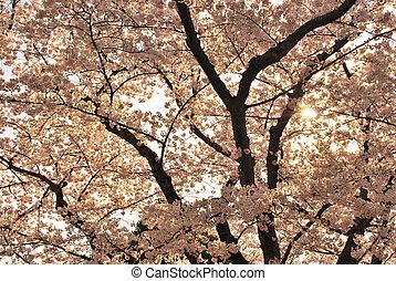 sonnenuntergang, ansicht, von, kirschblüten, während, fruehjahr