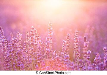 sonnenuntergang, aus, closeup, lavender., büsche, lavendel, lila, gebiet, schein, provence, frankreich, sunset., blumen