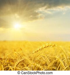 sonnenuntergang, aus, goldenes, field., weicher fokus
