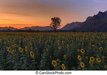 sonnenuntergang, aus, sonnenblume, volle blüte, feld