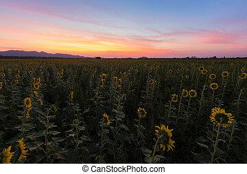 sonnenuntergang, aus, sonnenblumenfeld