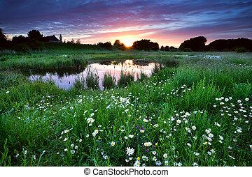 sonnenuntergang, aus, wiese, mit, viele, gänseblumen, blumen