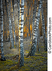 sonnenuntergang, bäume, birke